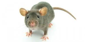 Что ест крыса