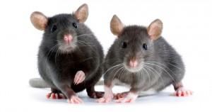 Чем кормить крысу — разрешенные и запрещенные продукты