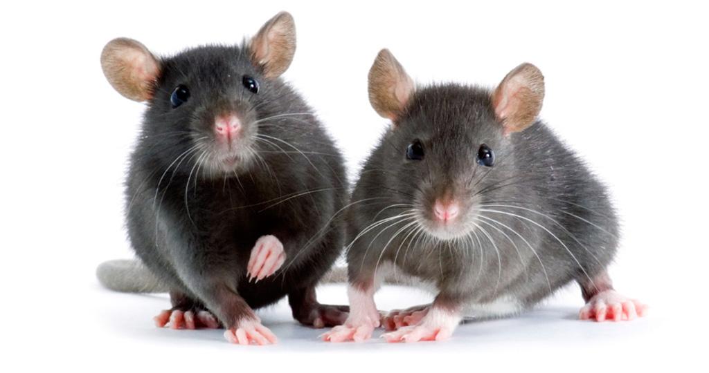Чем кормить крысу - разрешенные и запрещенные продукты