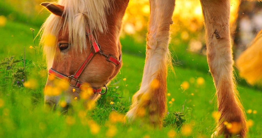 Чем кормить лошадь - правильное и здоровое питание