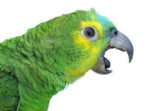 Научить говорить волнистого попугая