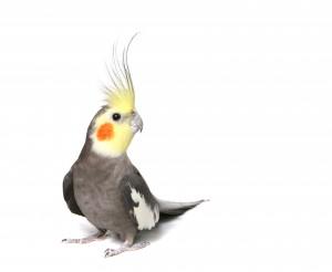 Научить попугая разговаривать