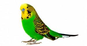 Как научить попугая разговаривать - лучшие советы и приемы
