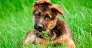Как правильно кормить щенка немецкой овчарки - советы по кормлению