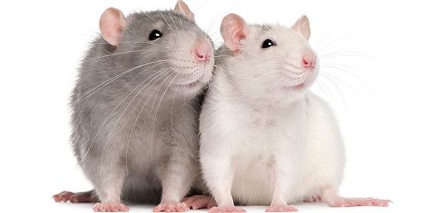 Крыса чихает