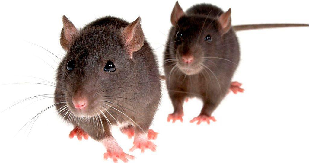 Почему чихает крыса - причины и лечение