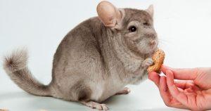 Чем кормить шиншиллу в домашних условиях