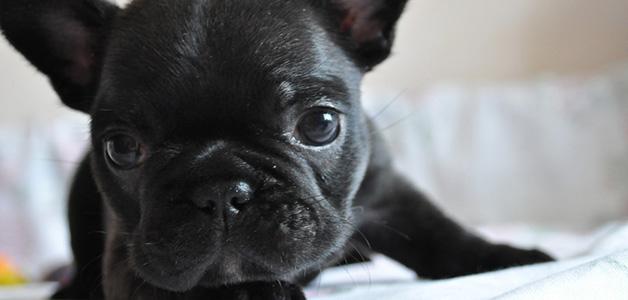 Правильно кормить щенка французского бульдога