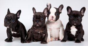 Как правильно кормить щенка французского бульдога