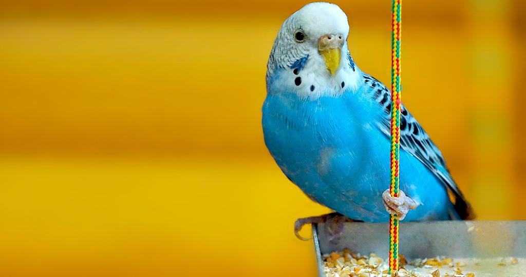 Средние и волнистые попугаи в домашних условиях 6
