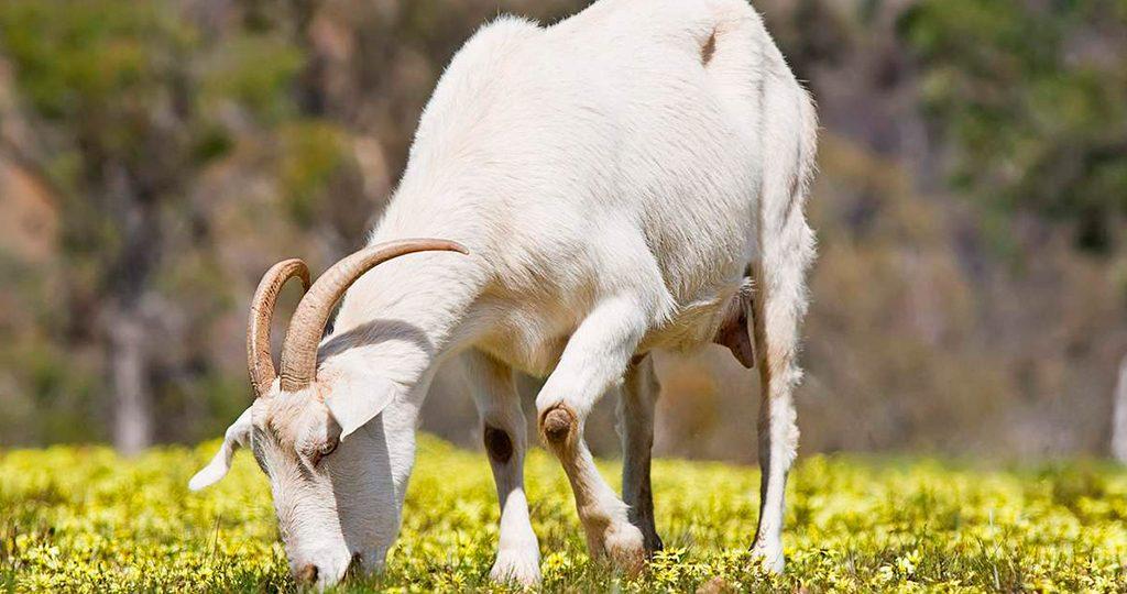 Чем кормить козу — правила рациона