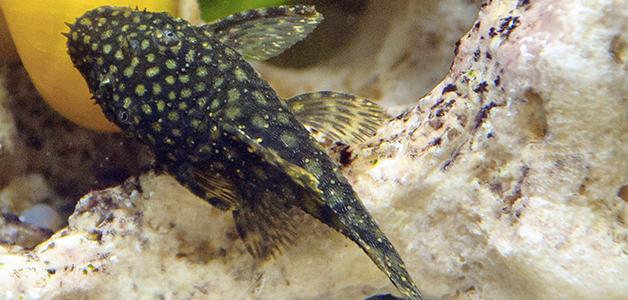 Как лечить ихтиофтириоз у рыб малахитовым зелёным