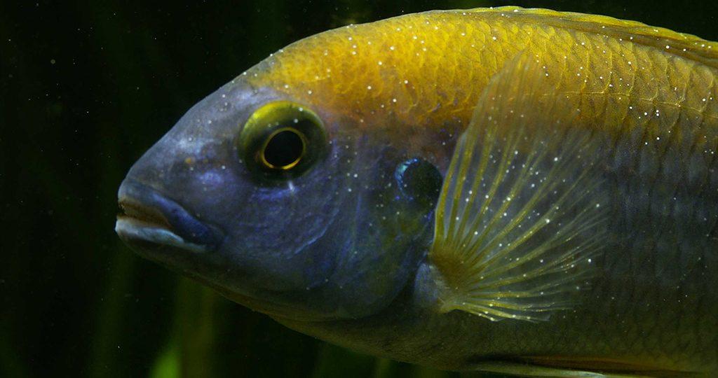 Ихтиофтириоз у рыб – признаки и лечение в аквариуме