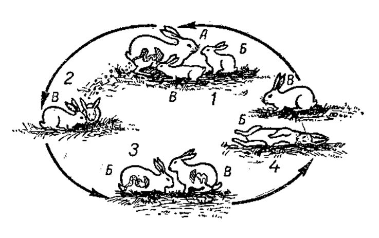 Кокцидиоз у кроликов лечение
