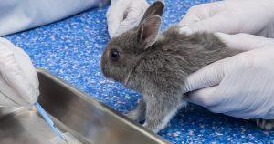 Кокцидиоз у кроликов - симптомы, лечение, профилактика