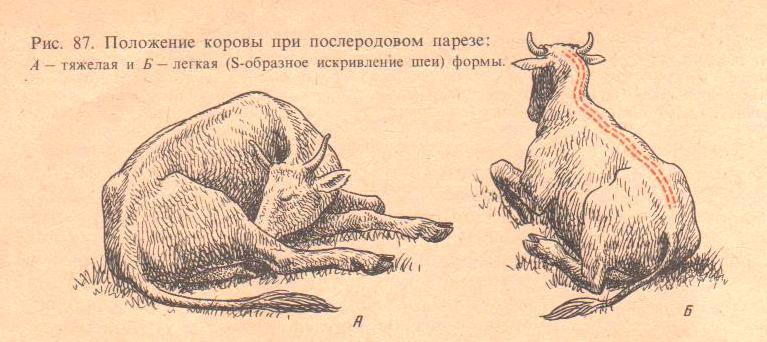 Признаки пареза у коровы