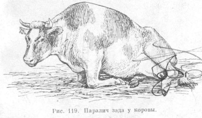 Лечение пареза у коров