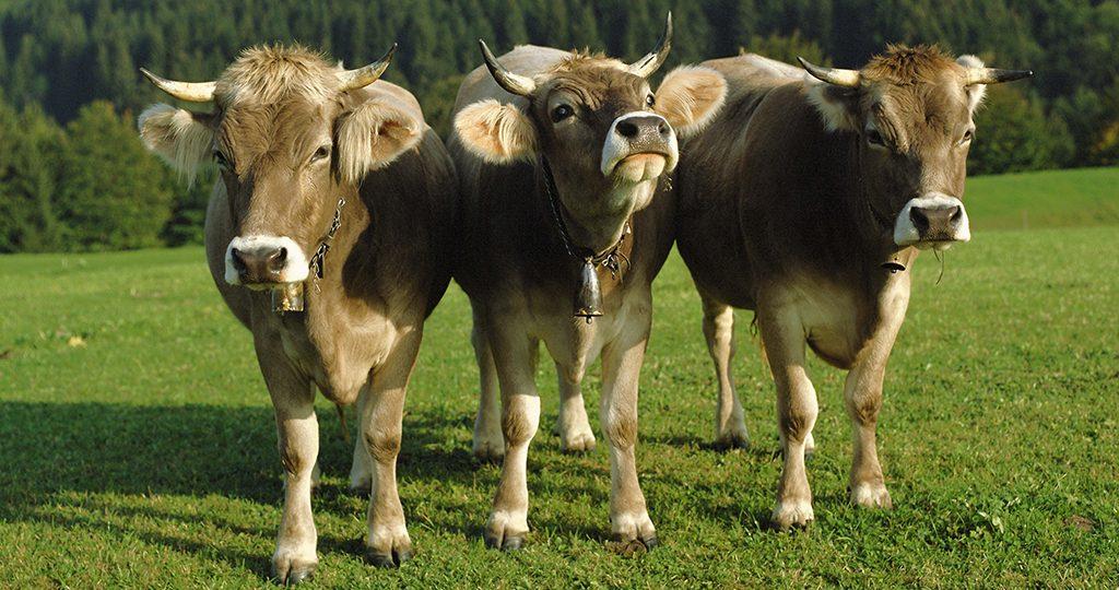 Парез у коров — причины, лечение и профилактика болезни