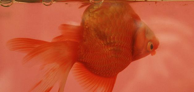 Золотая рыбка болезни симптомы