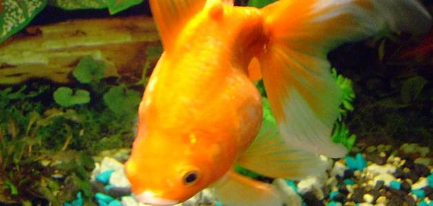 Болезни золотой рыбки в аквариуме