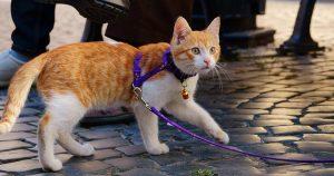 Кошка на поводке: как приучить животное в игровой форме