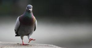 Вертячка у голубей - причины и лечение болезни