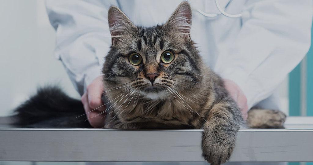 Микроинсульт у кошек симптомы и лечение