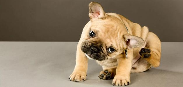 Почему собака чешет уши