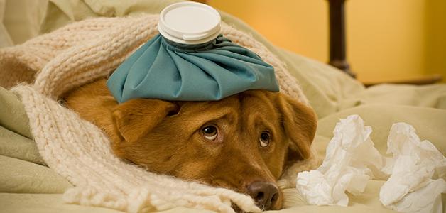 Чумка у собак: причины, признаки, лечение и осложнения