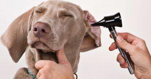 Почему собака чешет уши: причины и лечение