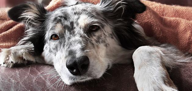 У собаки сухой и горячий нос