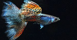 Чем кормить гуппи: правила питания для рыбок