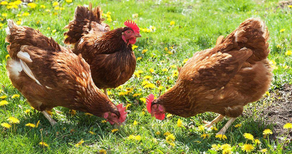 Чем кормить кур — рацион домашних куриц