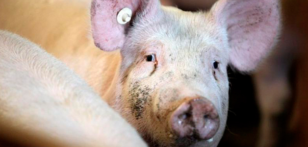 Симптомы чесотки у свиней