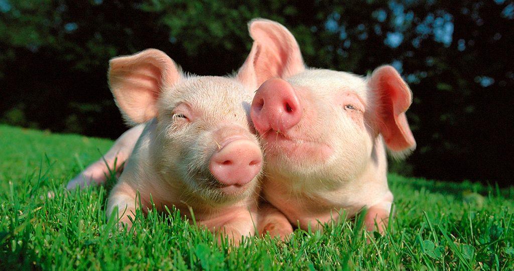 Чесотка у свиней: симптомы, признаки и лечение поросят