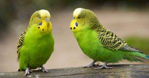 Клещи у попугая: виды, симптомы лечение и последствия