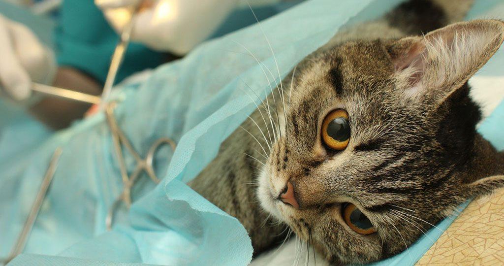 Кошка после стерилизации: уход, питание и обработка шва