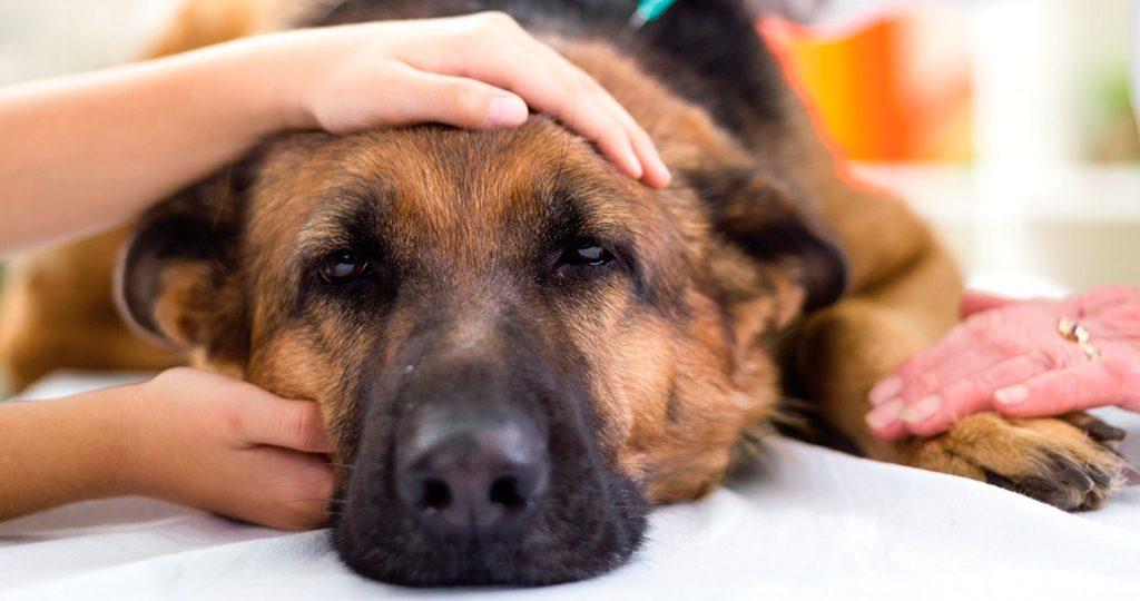Пироплазмоз у собак: причины, симптомы и лечение