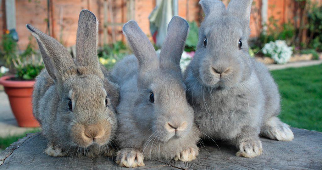 Ушной клещ у кроликов — причины, симптомы и лечение