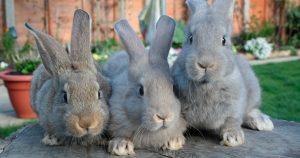 Ушной клещ у кроликов - причины, симптомы и лечение