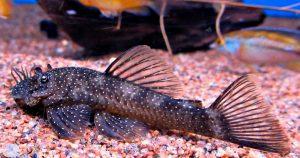 Анциструс - содержание и уход в аквариуме