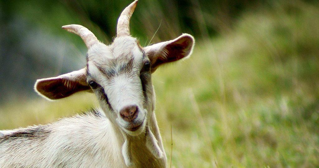 Мастит у коз - виды, признаки и лечение болезни