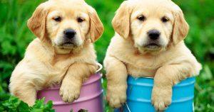 Как воспитать лабрадора – щенок и взрослая собака