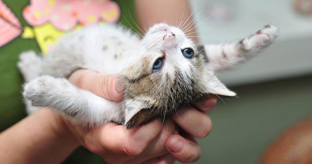 Пупочная грыжа у котят - причины и лечение