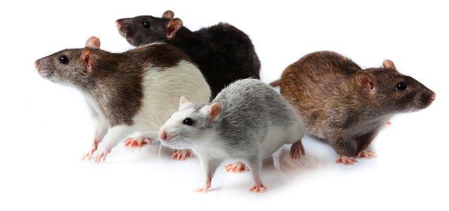крысы болеют бешенством