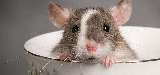 бешенство у декоративных крыс