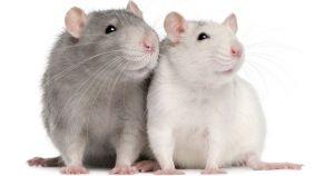 Бешенство у крыс: какие грызуны переносят заражение