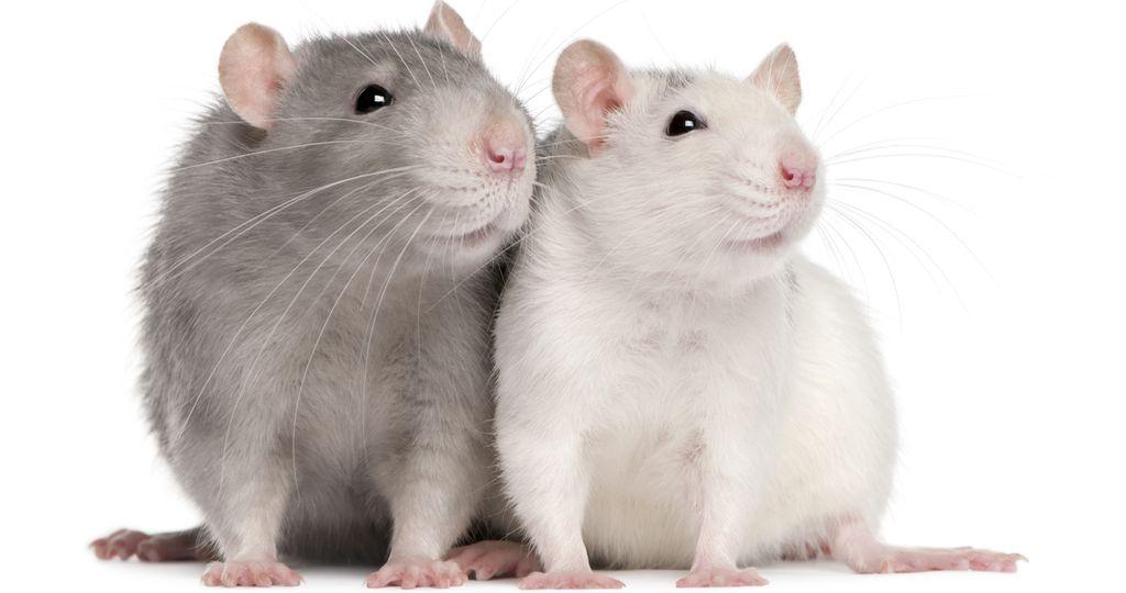 бешенство у крыс