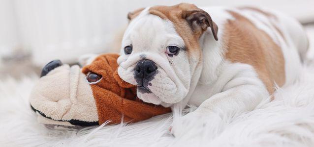 цистит у щенка