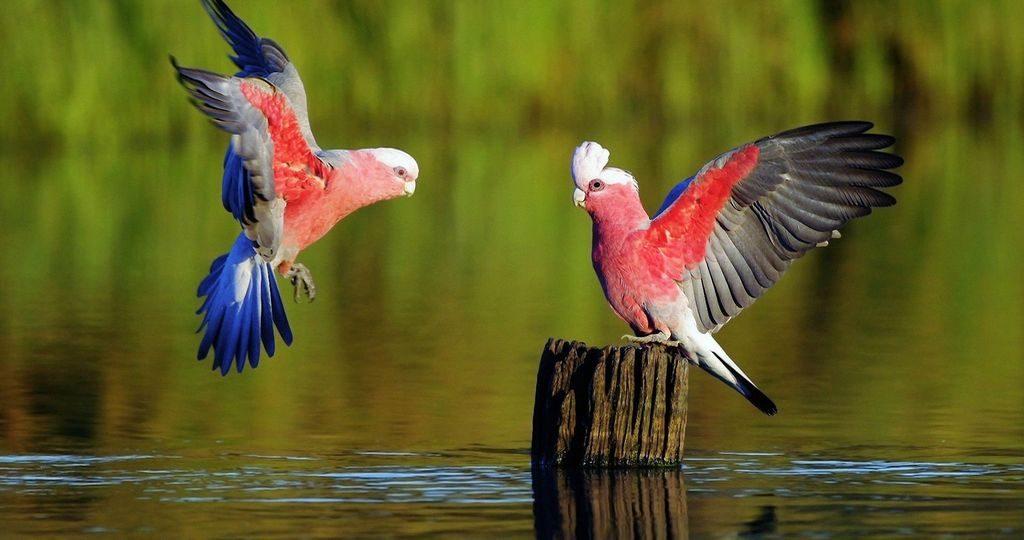 Накрывать ли попугая на ночь: за и против